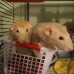 Alvin and Alfred - adoptable male rats