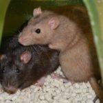 Cookie, Dara, Fiona & Kiwi - adoptable female rats