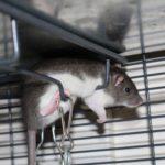 LUCKY BOYS - Adoptable male rats