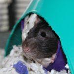 Tikka and Masala - adoptable neutered rats