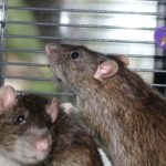 OWEN AND PARKER - adoptable neutered rats