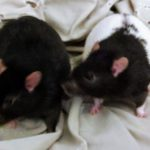 Hector and Bart - adoptable neutered male rats