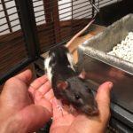 Taki and Shin, two adoptable female rats